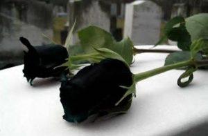 عکس رز سیاه