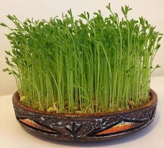 سبزه عدس هفت سین