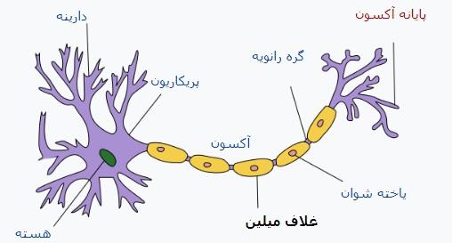 ساختار نورون و غلاف میلین