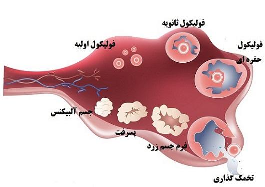 فولیکول در تخمدان چیست؟