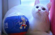 گربه آرمیتاژ گربه جام جهانی که بازی ها را پیش بینی میکند!
