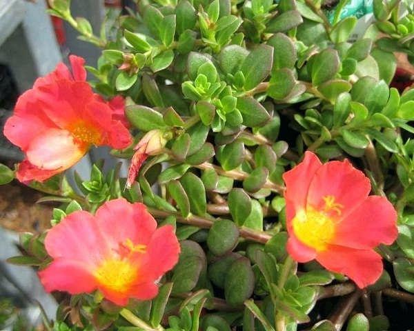 گل خرفه