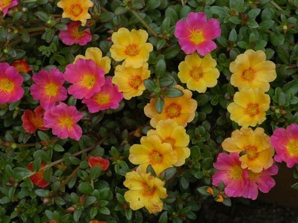گل گیاه خرفه