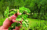موارد مصرف سبزی چوچاق یا زولنگ چیست؟