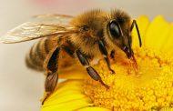زنبور چند جفت بال دارد؟