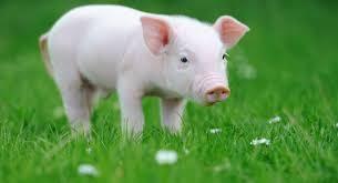 چرا گوشت خوک حرام است؟