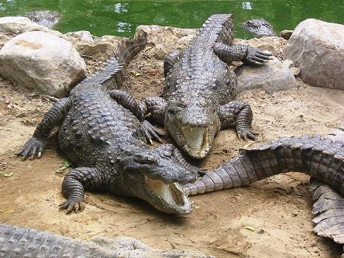 عکس تمساح گاندو چابهار