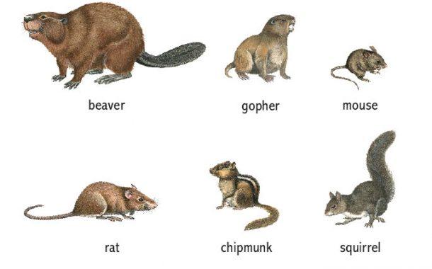 جوندگان کدام حیوانات هستند؟