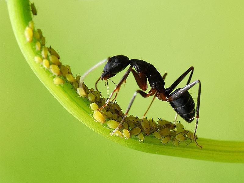 رابطه غذایی بین مورچه و شته از کدام نوع است؟